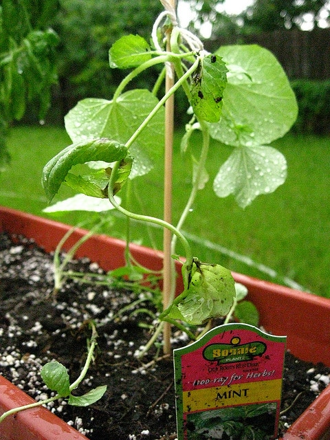 verbouwen eigen groente